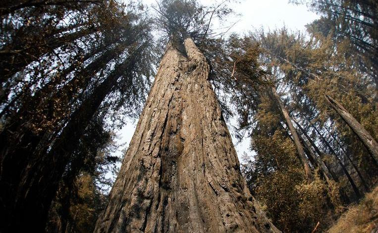Photo of 2000-year-old trees survived severe wildfire in California