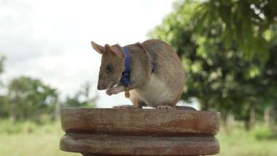 Photo of Meet Magawa, a bomb-clearing rat born and trained in Tanzanian