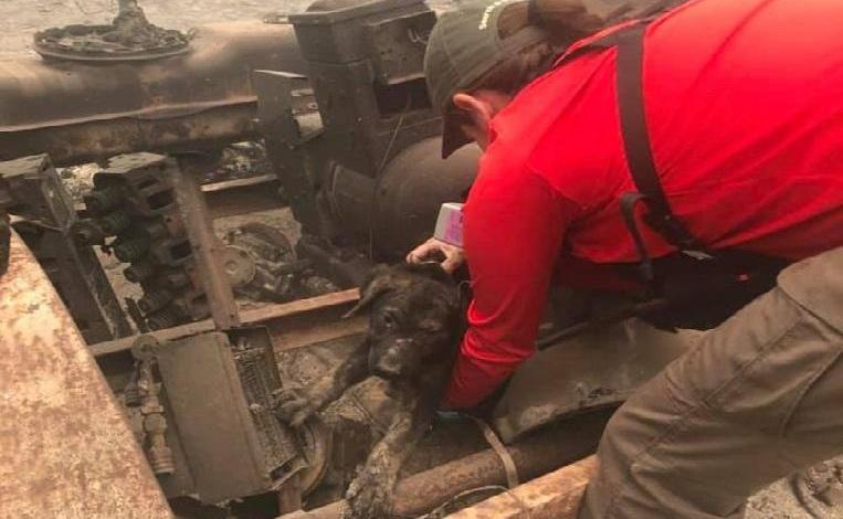 Photo of Puppy found alive in the ashes of California bushfire
