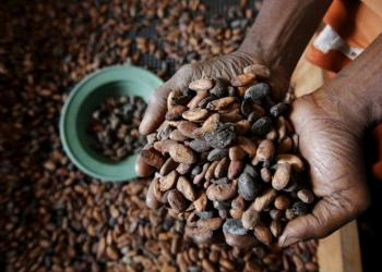 FILE PHOTO: A worker holds cocoa beans at export firm SAF CACAO in San-Pedro, Ivory Coast, January 29, 2016. REUTERS/Thierry Gouegnon/File Photo