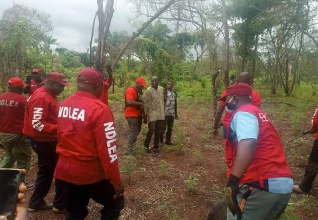 Kill me rather than destroy my cannabis farm – Suspect begs NDLEA in Kogi
