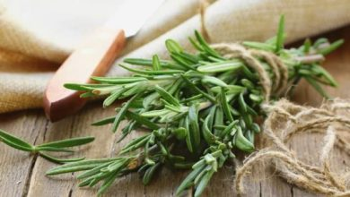 Rosemary: Benefits, side effects and preparations