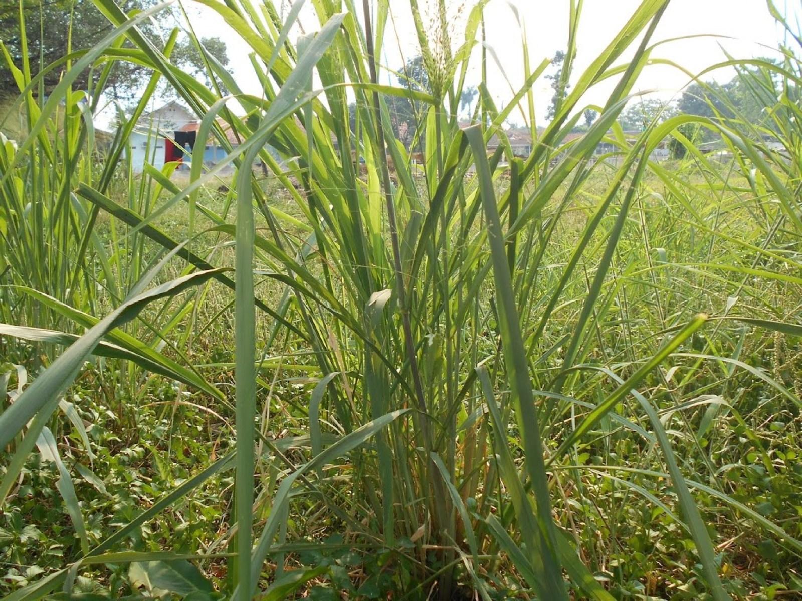 Alang-alang dengan tanaman reproduksi