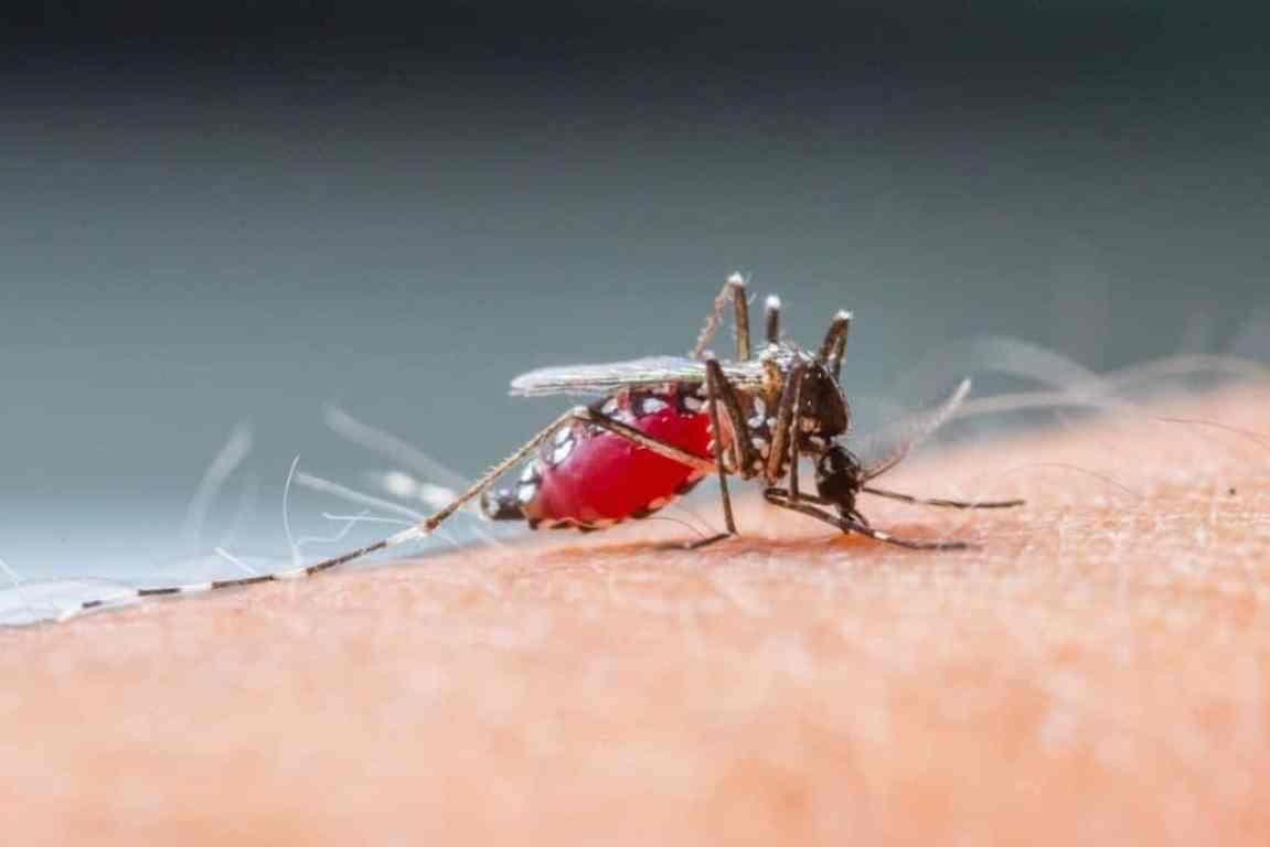 Nyamuk menghisap darah