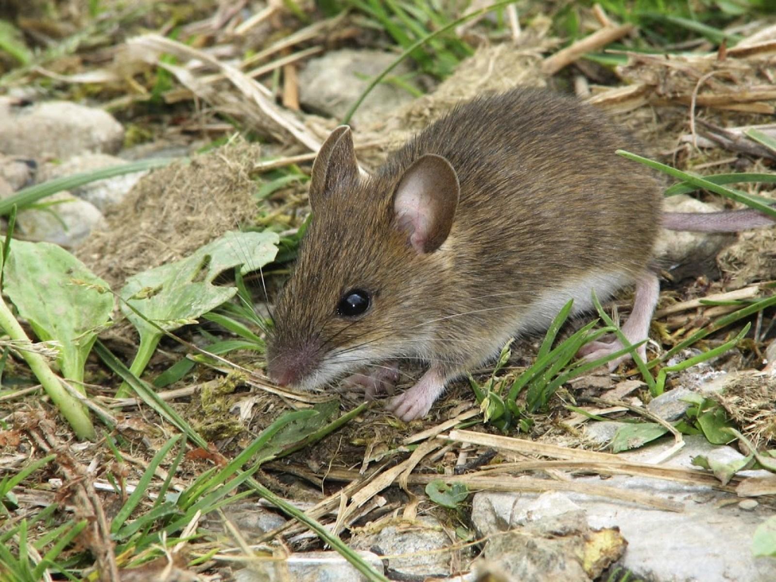 Tikus dengan petani