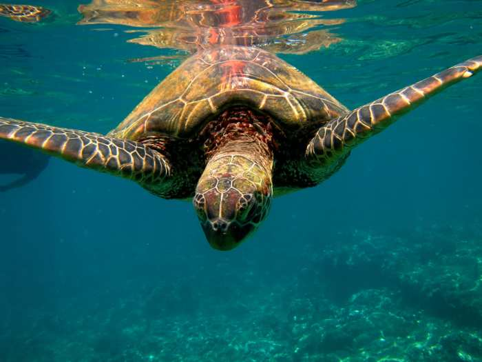 Top 10 activities in maui, Maui Travel Video - Activities - Maui- Sea Turtle