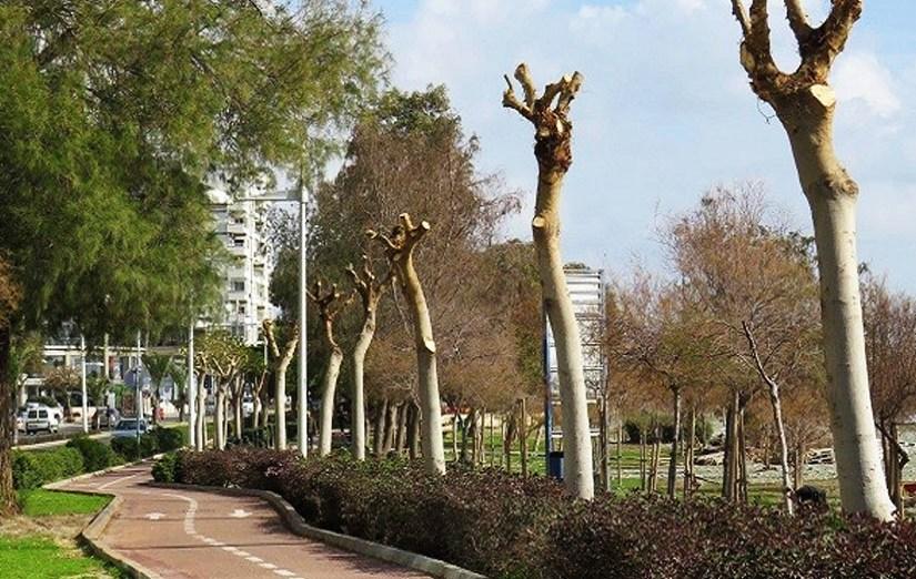 Εξηγήσεις δίνει ο Δήμος Λεμεσού για το κλάδεμα στους φίκους