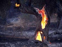 φωτια μαστιχοδενδρο