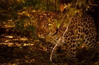 105 Teus Renes Leopard