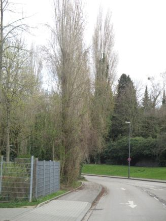 Bild 3: Pyramidenpappeln, an deren Kätzchen am 21.3.2020 in Aachen/Peliserkerstraße Raupen von X. gilvago und X. ocellaris gefunden wurden (Foto: L. Wirooks)