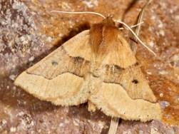 Crocallis tusciaria - Schlehen-Schmuckspanner