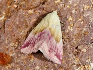 Purpureulchen Eublemma purpurina