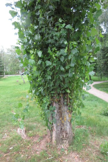 Populus nigra var italica - Pyramidenpappel. Köln, 8. August 2021 (Foto: Jörg Siemers)