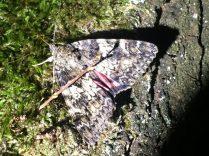 Großes Eichenkarmin - Catocala sponsa am Köder (Foto: Dahl)