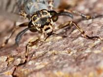 im Porträt: Gefleckte Ameisenjungfer - Euroleon nostras