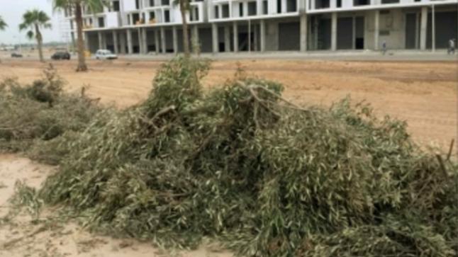 جمعية بيئية تراسل السلطات المحلية بسبب اقتلاع أشجار الزيتون بأكادير