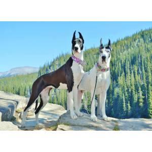 Snazzy Danes Puppies Sale Dane Breeders Nh Dane Breeders