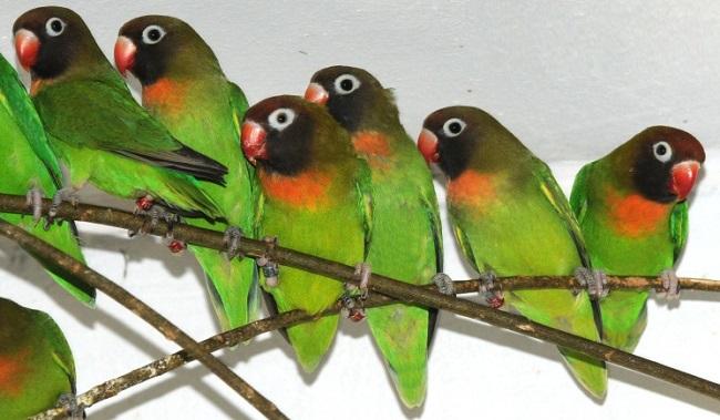 Agaponi Nigrigenis o Inseparable Cachetón Agapornis-nigrigenis-cabeza-negra-pecho-naranja