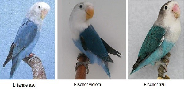 diferencia lilianae con fisher color azul y violeta