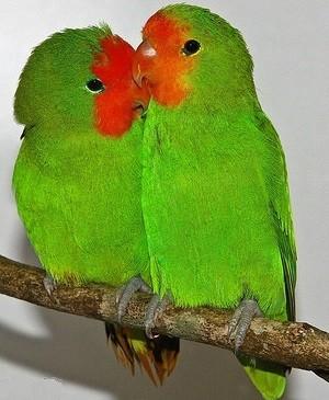 pulluarius hembra y macho