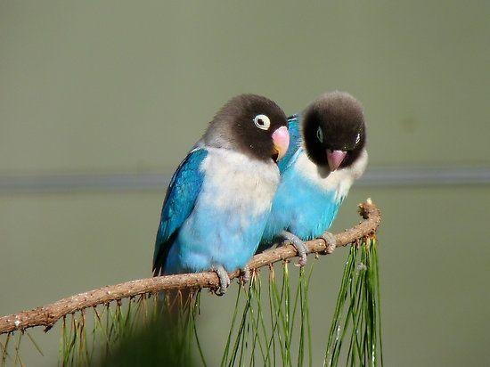 agapornis azules inseparables