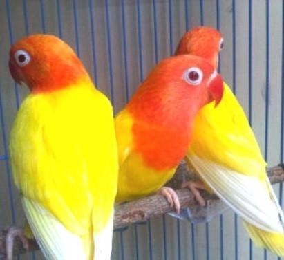 agapornis de color amarillo
