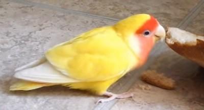 agaporni amarillo comiendo pan