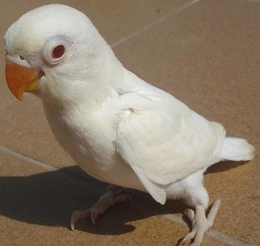 inseparable personata albino de color blanco