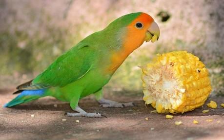 agaporni verde comiendo maiz