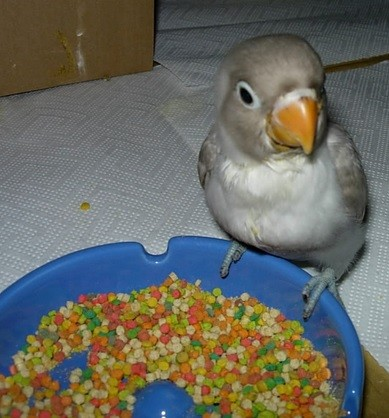 inseparable acostumbrado a comer pienso