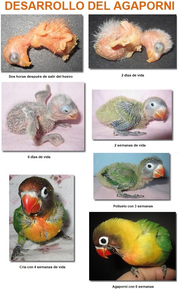 etapas crecimiento desarrollo cria agaporni polluelo inseparable