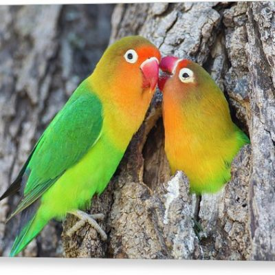 two-fischers-lovebirds-agapornis-james-heupel-canvas-print