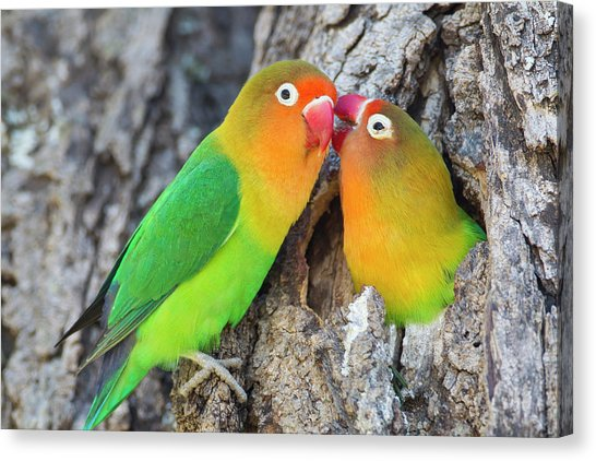 Two Fischers Lovebirds Agapornis James Heupel Canvas Print