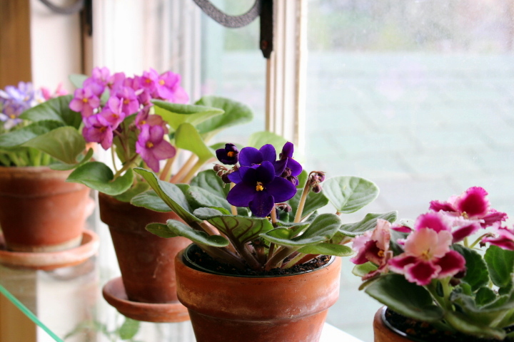 Colourful African Violets Look Beautiful Indoors
