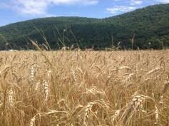 catskill wheat july