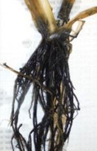 Wild rice roots from a high-sulfate environment. Photo courtesy John Pastor.