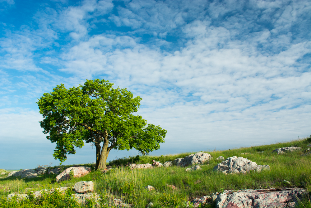 """The """"three sisters tree"""" in Blue Mounds. Photo © John Duren"""