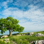 "The ""three sisters tree"" in Blue Mounds. Photo © John Duren"