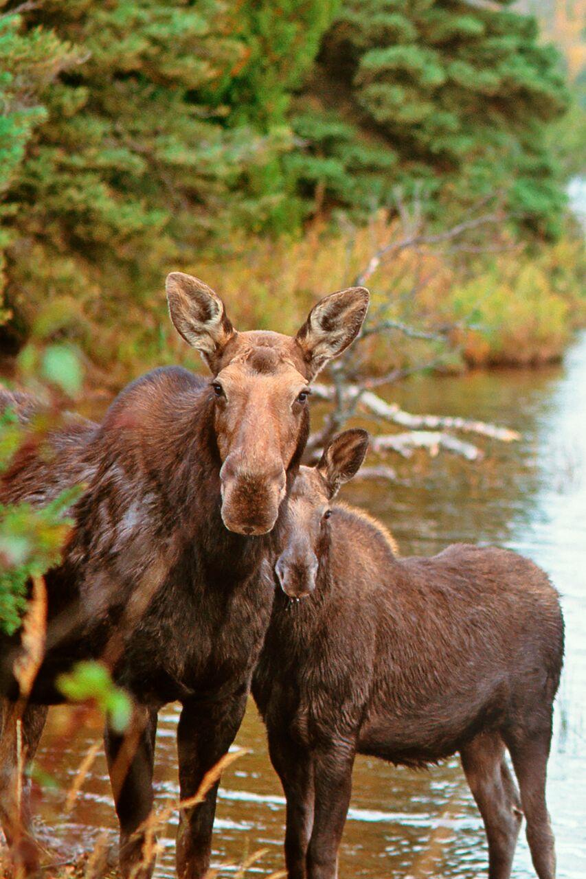 moose-mom-child