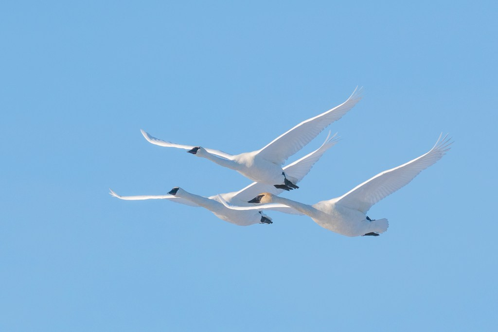 Trumpeter swans. Image © Dominique Braud