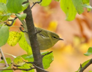 Orange-crowned Warbler. (September; Duluth, MN) © Sparky Stensaas @ www.thephotonaturalist.com