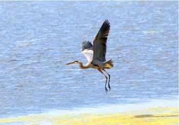 Herons and other large water birds find welcoming habitat in Green Bay. Photo courtesy USFWS, Joel Trick.