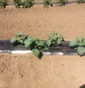 Broccoli at the AG Farm