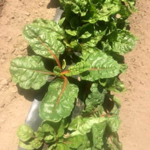 Swiss Chard at the AG Farm