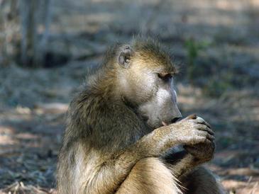 Los babuinos ingieren algunas plantas para evitar parásitos. / Volker Schumann