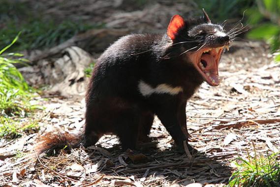 """<p>Los demonios de Tasmania son los marsupiales carnívoros más grandes del mundo. Viven únicamente en esta región australiana. /<a href=""""https://www.flickr.com/photos/30073301@N00"""" target=""""_blank"""">Chen Wu</a></p>"""