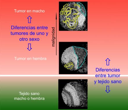 Diferencias entre tumores de mosca del vinagre macho y hembra / Cayetano González, IRB Barcelona.