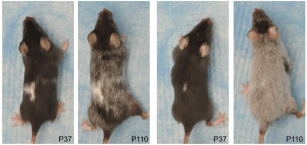 ratones con canas