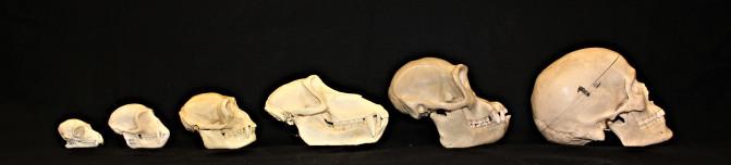 Cráneos de un lémur macho adulto (Lemur catta), mono vervet (Chlorocebus pygerythrus), gibón (Hylobates lar), babuino (Papio hamadrayas), chimpancé (Pan troglodytes) y humano (Homo sapiens) / Megan Petersdorf