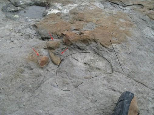 <p>Las huellas de dinosaurios saurópodos demuestran el pisoteo del fondo donde vivían los bivalvos de agua dulce, que actualmente se encuentran desplazados (marcados con flechas rojas). Yacimiento de El Talameru en el Cabo Lastres (Asturias)./ Instituto Geológico y Minero de España</p>